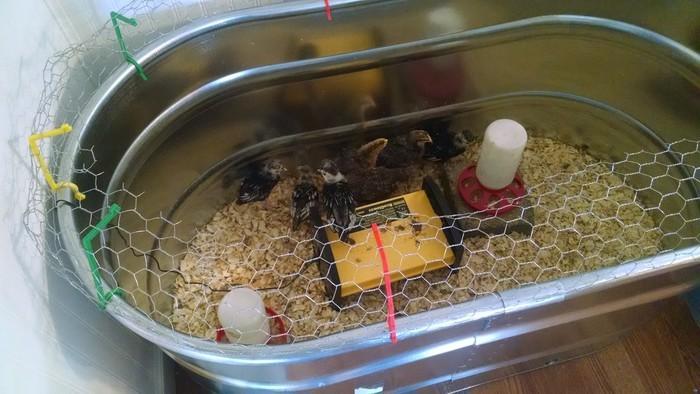 Jurassic Cluck: Chicken Brooder Fence