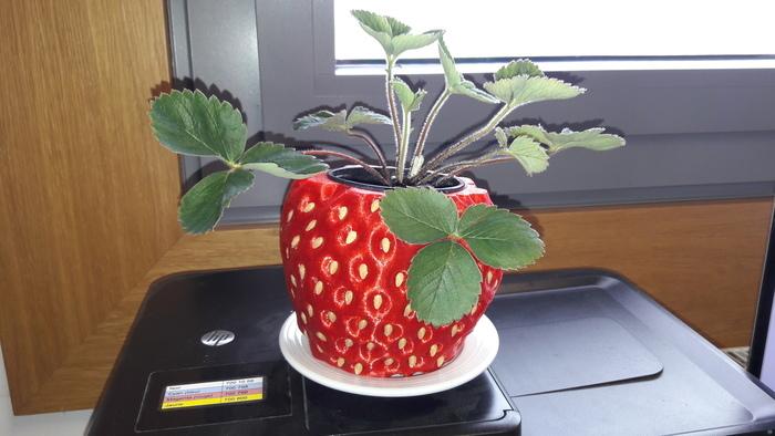 strawberry Pot-holder
