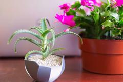Aloe Arborescens Small