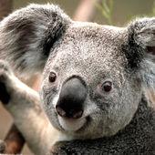 Span2 koala