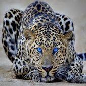 Span2 great leopard 16