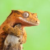 Span2 gecko wallpaper